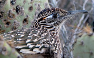 Not a single beep from this Arizona Roadrunner
